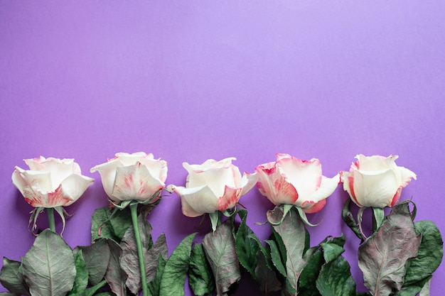 Festive flowers english rose composition on purple