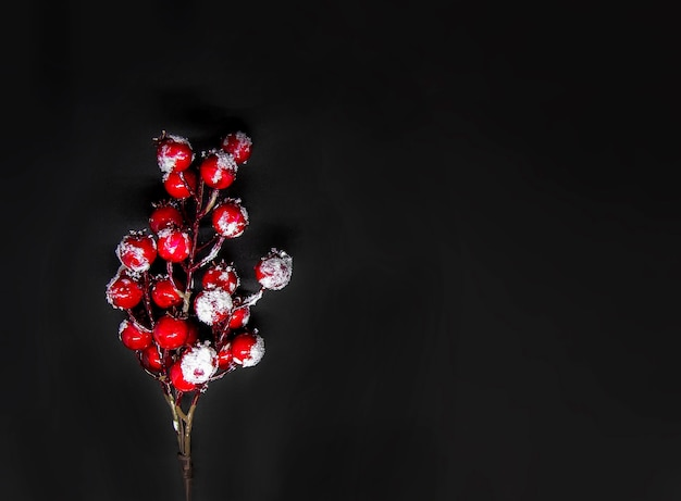 Festive new year or christmas background with red holly plant berries in snow on black