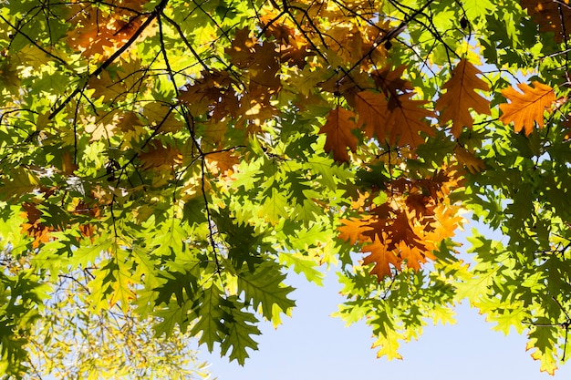 A few branches in the yellowed foliage of the oak and the rest of the green foliage in early autumn