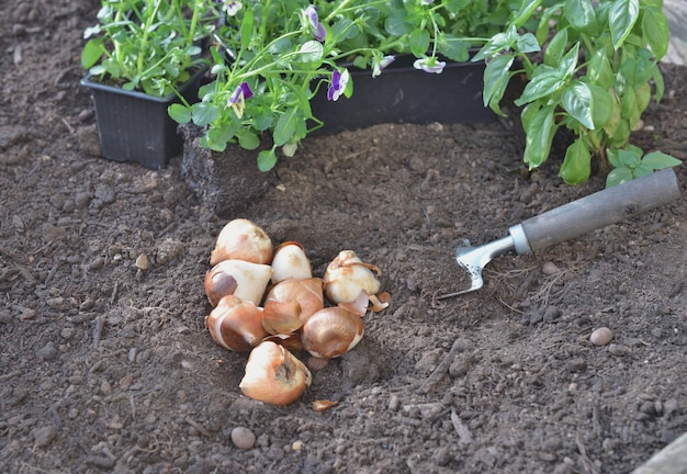 Few bulbs of tuliips on the soil with viola flowers to plant in the garden