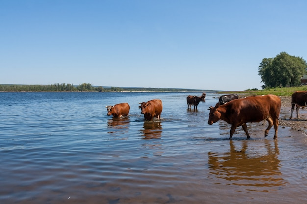 Few cows are, standing in river on hot summer afternoon.