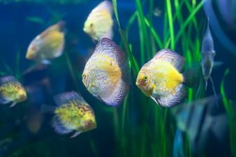 Few discus fish