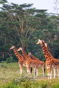 Немного жирафов в парке накуру