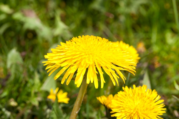 A few new yellow dandelion flowers on a spring meadow