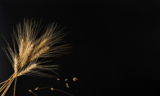 A few of perfect golden spikelets of the wheat with grains on the black background.