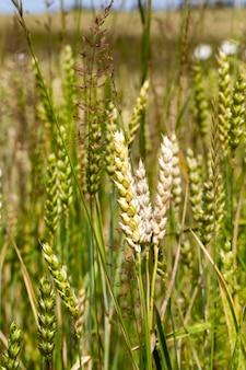 熟した小麦の白いスパイクはほとんどありません