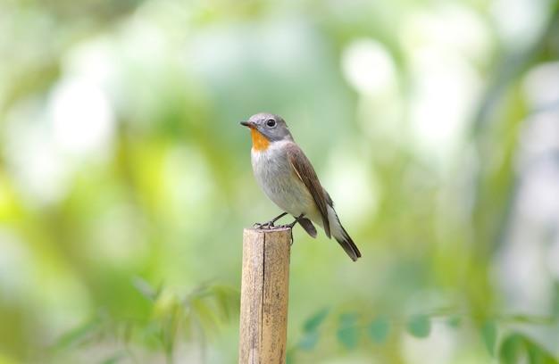 タイガヒタキficedula albicillaタイの美しい雄鳥