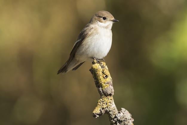 春の渡り鳥の女性のヨーロッパのハエヒタキficedula hypoleuca