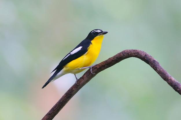 Мухоловка с желтой костью ficedula zanthopygia красивые самцы тайских птиц, садящиеся на дерево