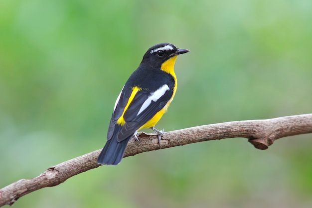 Желтокопытный мухоловщик ficedula zanthopygia красивые мужские птицы таиланда