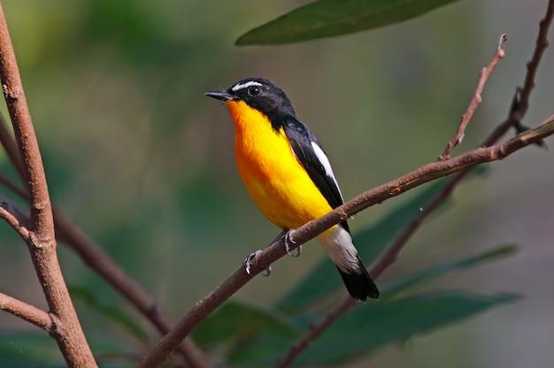 Мухоловка с желтой костью ficedula zanthopygia красивые мужские птицы таиланда