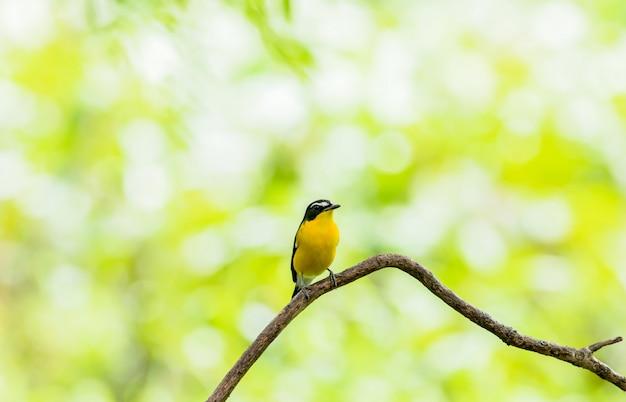Самец мухоловки с желтой костью (ficedula zanthopygia) прекрасная птица с сидящим на ветке