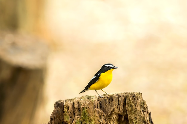 Птица, желтобрюхая мухоловка (ficedula zanthopygia) прекрасная