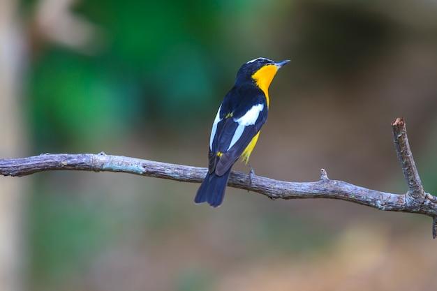 Мужчины желтоносый мухоловка (ficedula zanthopygia) в природе