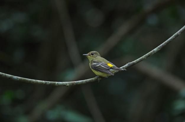 Мухоловка с желтой каймой (ficedula zanthopygia) в природе