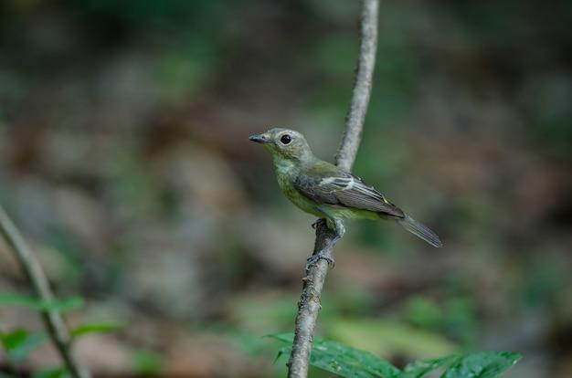 Самец желтой мятежной мухоловки (ficedula zanthopygia)
