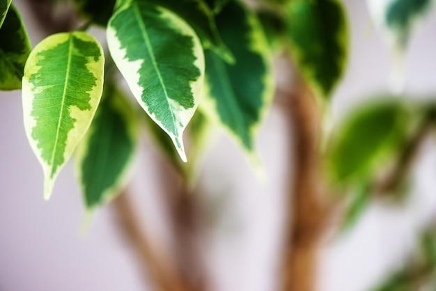 窓に立っている鍋のイチジクベンジャミンシール都市ジャングルコンセプト自然空気浄化器houseplant肖像画