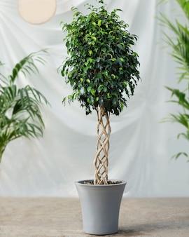 흰색 배경 가진 ficus benjamina 관엽 식물