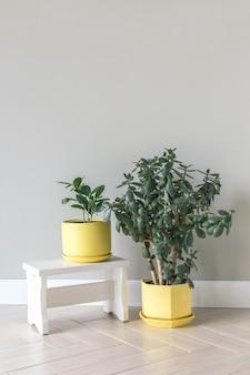 노란색 화분에 있는 ficus crassula는 회색 배경에 밝은 받침대에 서 있습니다. 객실 내부는 스칸디나비아 스타일입니다. 빈 벽과 복사 공간