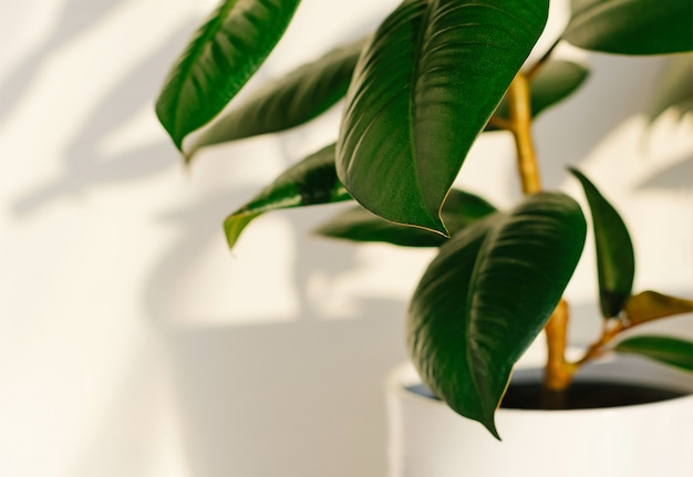 Ficus elastic plant rubber tree in a white ceramic flower pot.