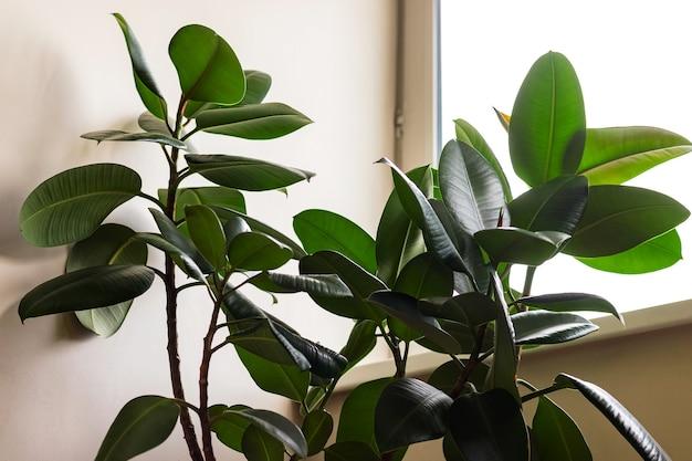 거실 창 근처에 있는 ficus elastica 로부스타 식물. 홈 오피스 화분 개념입니다. 확대.