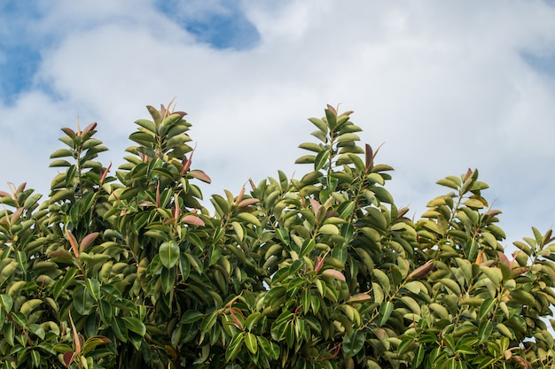 Ficus elastica tree