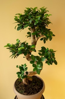 Ficus ginseng bonsai tree in plastic pot ficus microphylla ginseng home plant