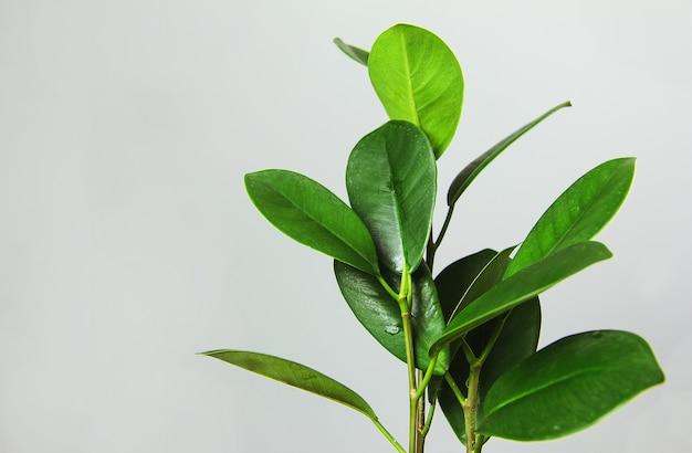 Ficus 잎이 복합 디자인을 장식합니다. 도시 정글의 세련되고 미니멀 한 인테리어
