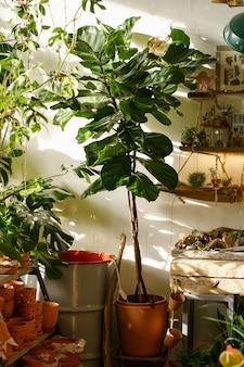 집이나 아파트 태양광을 위해 꽃집에서 판매 중인 테라코타 냄비에 있는 ficus lyrata 식물