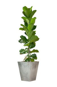 Ficus lyrata in pot isolated on white background