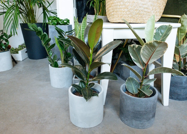 Ficus lyrata potted ficus plant collectionbeautiful fiddleleaf fig tree plant with big green leaves ...