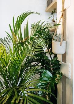 フィカスリラタ鉢植えのフィカス植物コレクション大きな緑の葉を持つ美しいカシワバゴムノキの木の植物...