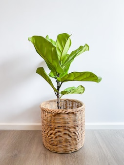 Ficus lyrata tree in a pot stands on a wooden floor
