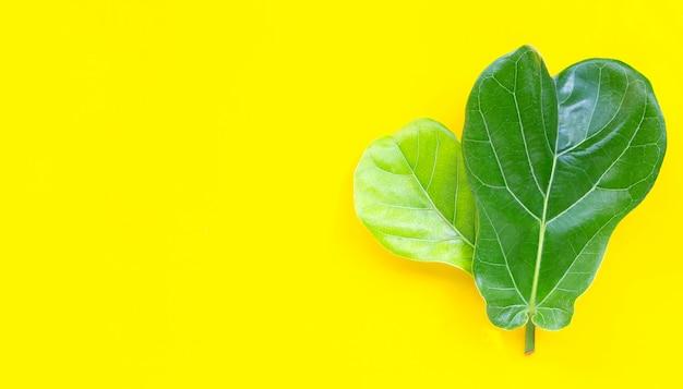 Ficus lyrate는 노란색 배경에 나뭇잎.