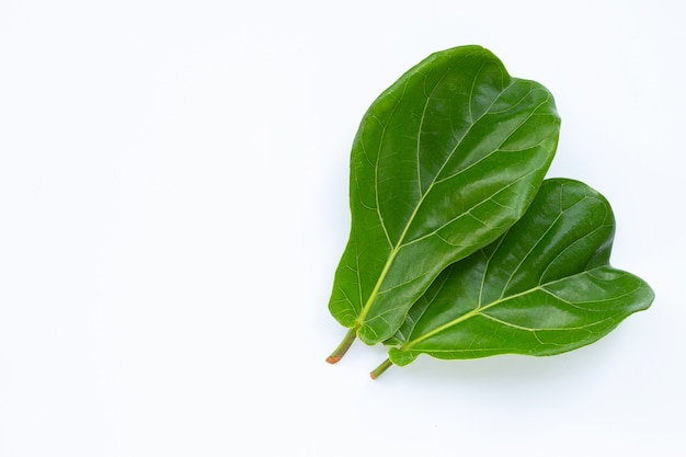 Ficus lyrate leaves on white wall.