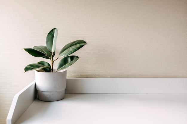 테이블에 흰색 콘크리트 냄비에 ficus 공장