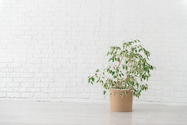 Ficus plant in a woven jute basket, white wall, minimalism interior