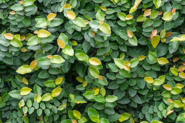 Ficus pumila 잎 배경