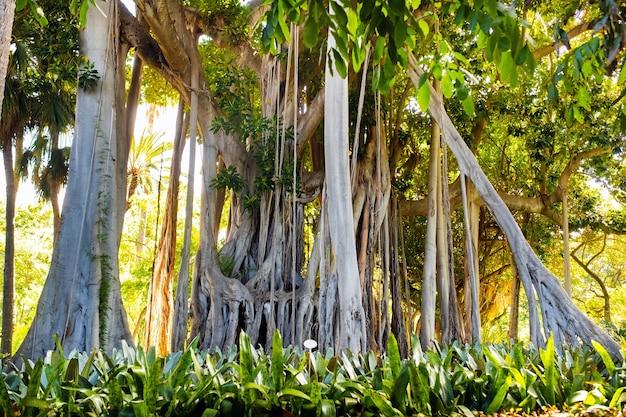 Фикус дерево. gзавод в парке в пуэрто-де-ла-крус.