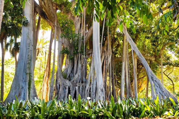 Ficus tree. gplant in a park in puerto de la cruz.