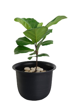 Fiddle fig(ficus lyrata)  green leaves  in  black  flower pot isolated