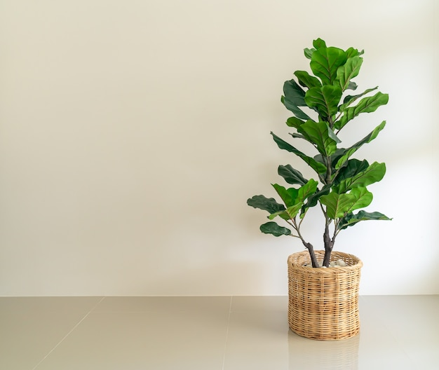 Fiddle fig in wicker basket pot with wall