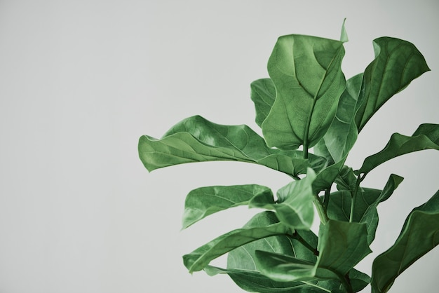 Fondo della pianta del fico della foglia del violino su gray