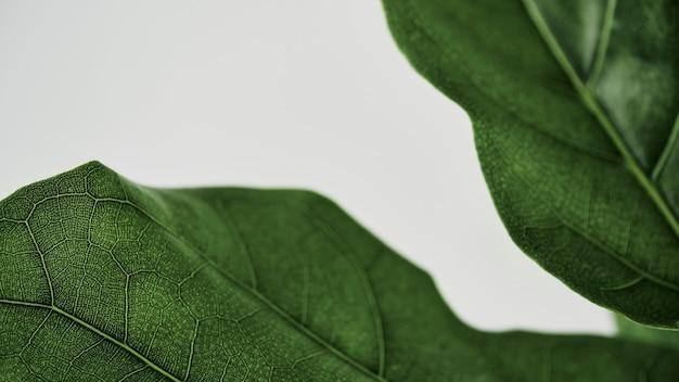 바이올린 잎 무화과 식물 배경