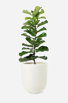 냄비에 바이올린 잎 무화과 식물