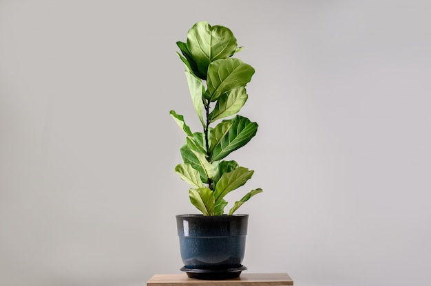 Fiddle leaf fig tree isolated on gray wall.