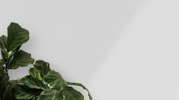 Fiddle leaf fig in a white wall background