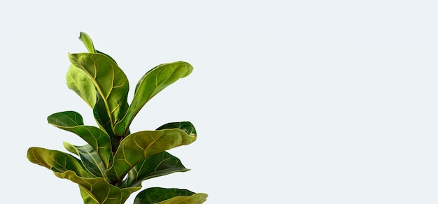 A fiddle leaf fig with copy space