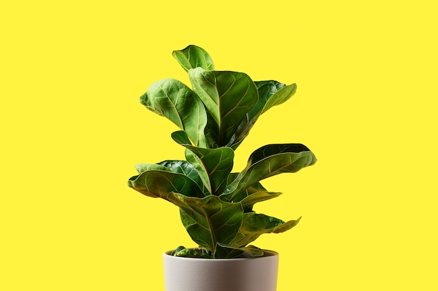 A fiddle leaf fig on yellow background