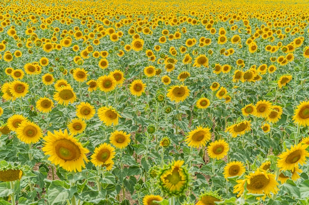Field of beautiful blooming sunflowers near valensole